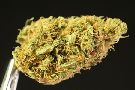 Golden Goat strain by Helping Hands Dispensary in sunny