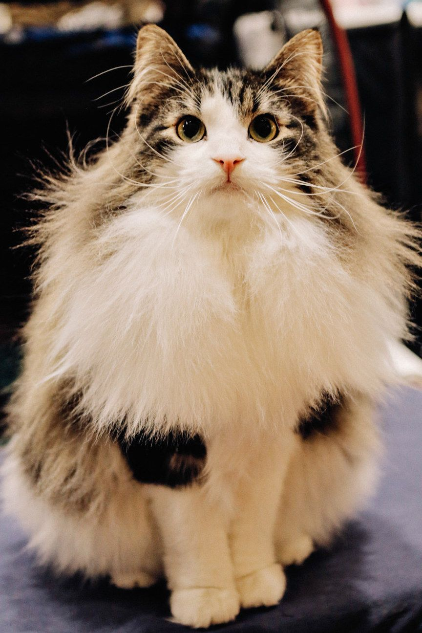 Epically Adorable Pictures From The Norwegian Forest Cat Show