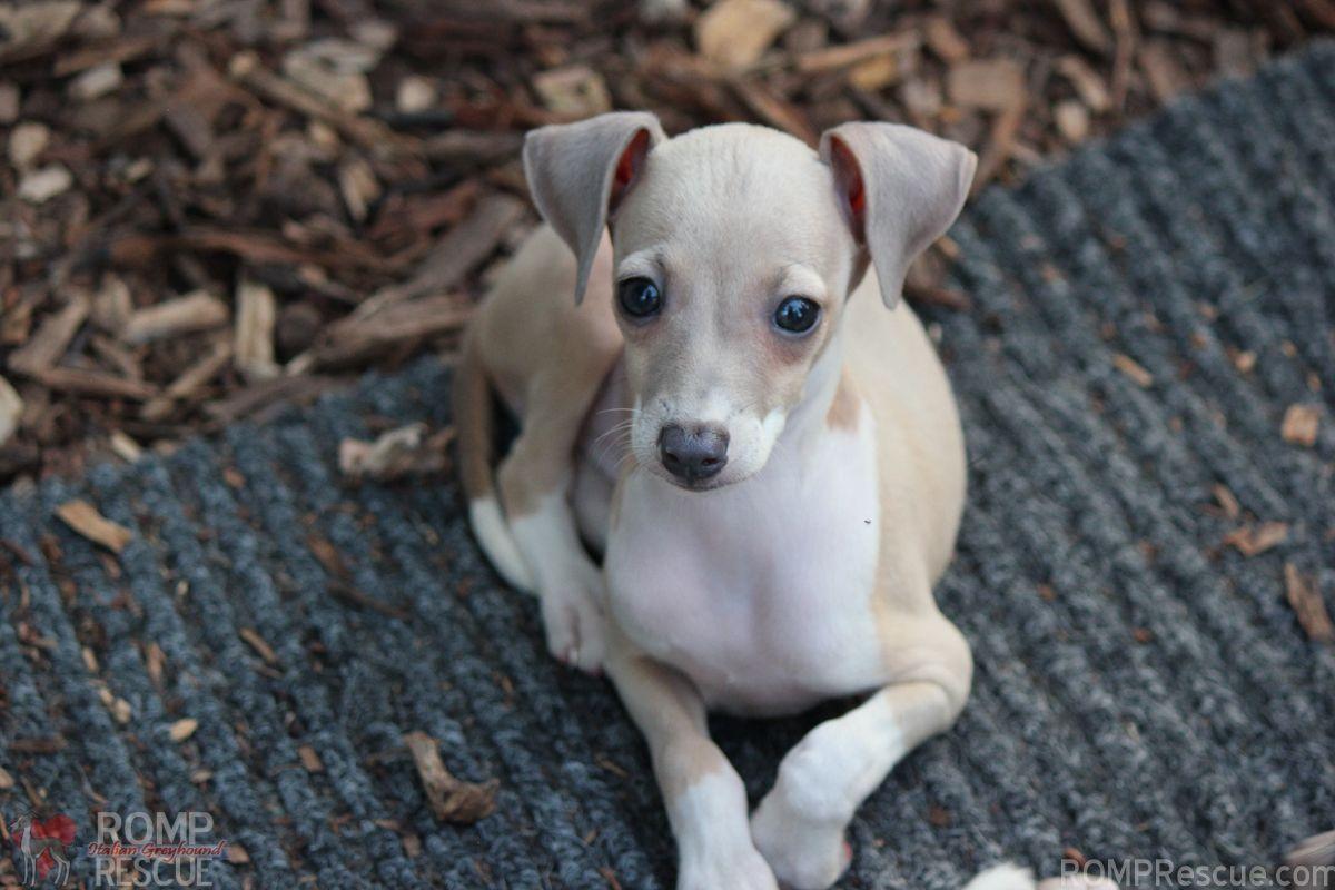 Italian Greyhound Rescue Nc Pitbull Cane Italian Pinterest