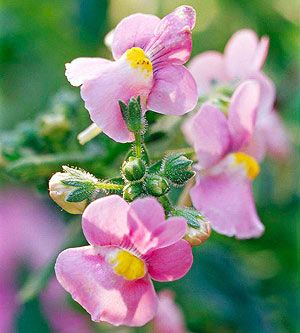 nemesia is a charming cool season annual with pretty little snapdragon shape flowers
