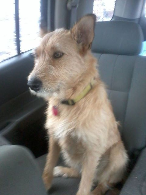 Wire Mounth Heeler Dog Photo Mo Still Missing Since 9 28 13