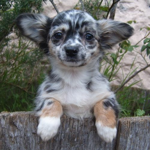 Merle Chihuahua Cross Chihuahua Teacupchihuahua Chihuahuacolors Dog Breeds Little Cute Dog Collars Working Dogs Breeds