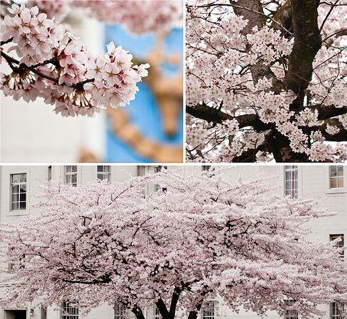 Giant Sakura Tree Sakura Tree Sakura Tree