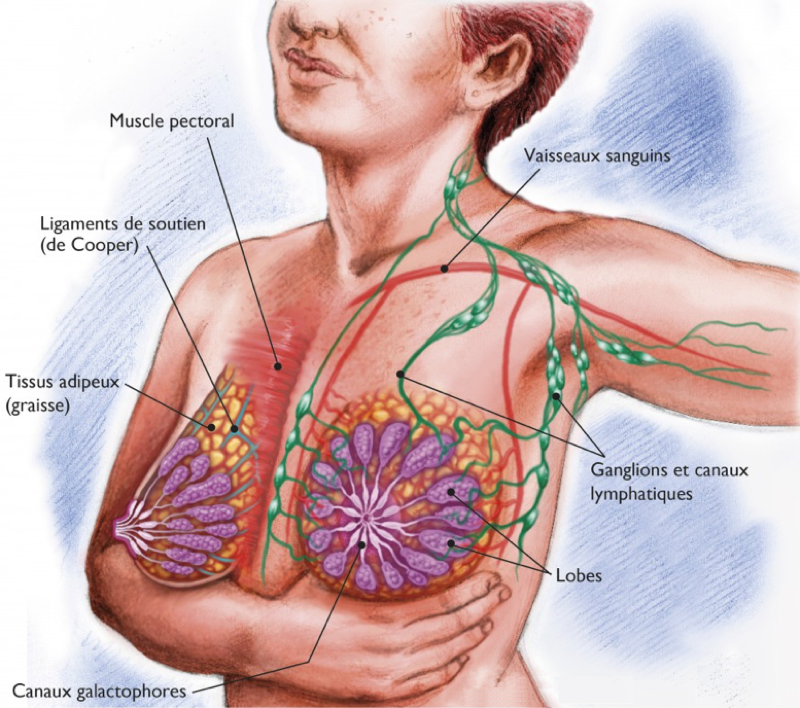 Ligaments suspenseurs du sein | Pinterest