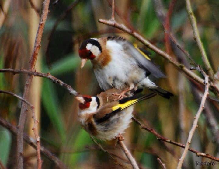 Parende Putters Europese Vogels Jilguero Aves Exóticas Y Canarios