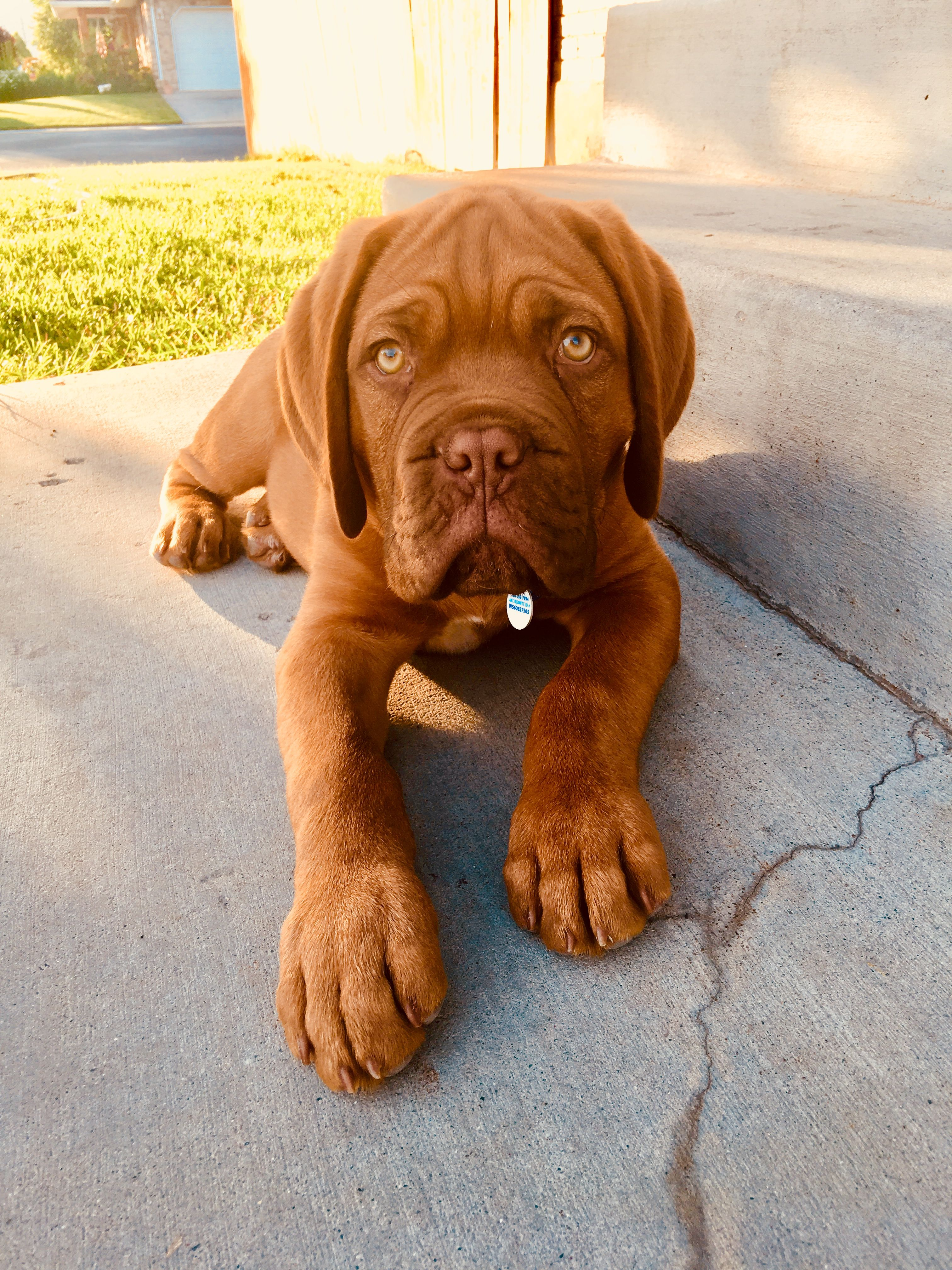 Dogue De Bordeaux Moses at 12 weeks French Mastiff
