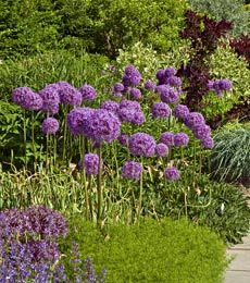 Allium Globemaster Plants White Flower Farm Allium Flowers