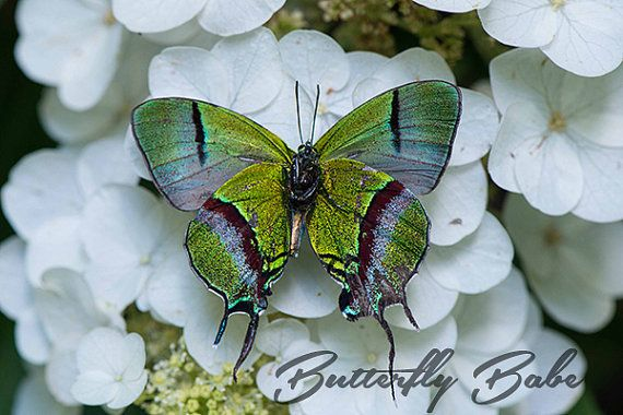 Real Thecla Coronata Photography Print by TheButterflyBabe on Etsy, $10.00