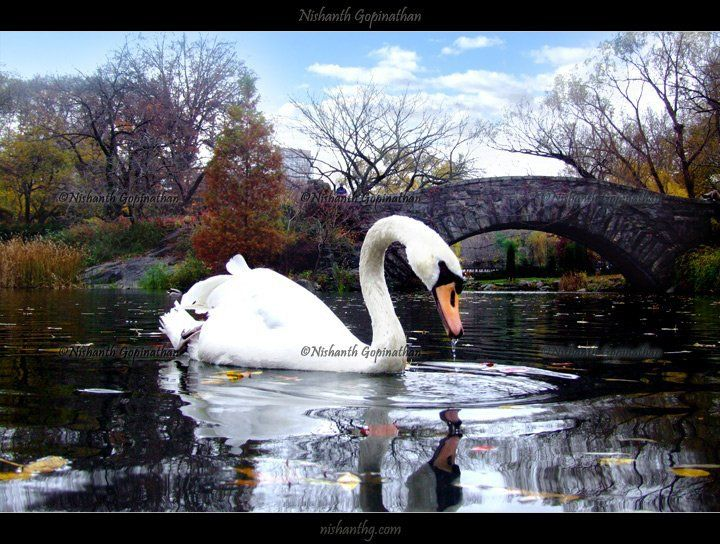 A swan by one of the Central Park bridges © Nishanth Gopinathan