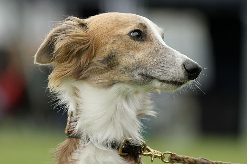 Fell Farben Silken Windsprite Club E V Windhund Windhunde Hunde