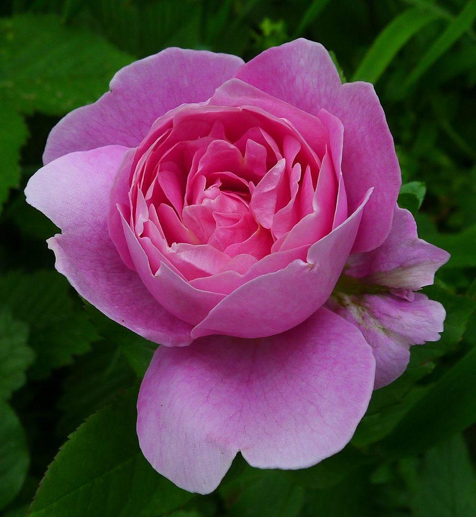 Admired miranda1 english roses pinterest david austin rose admired miranda david austin english rose austin 1982 flickr izmirmasajfo