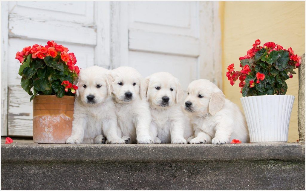 White Puppies Wallpaper Cute White Puppies Wallpaper Cute White