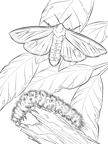 Woolly Bear Moth And Caterpillar Coloring page   butterflies/moths ...
