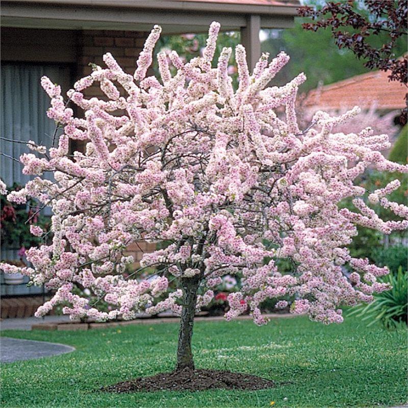 Prunus Elvins Flowering Plum I N 3721678 Bunnings Warehouse Flowering Cherry Tree Trees To Plant Plants