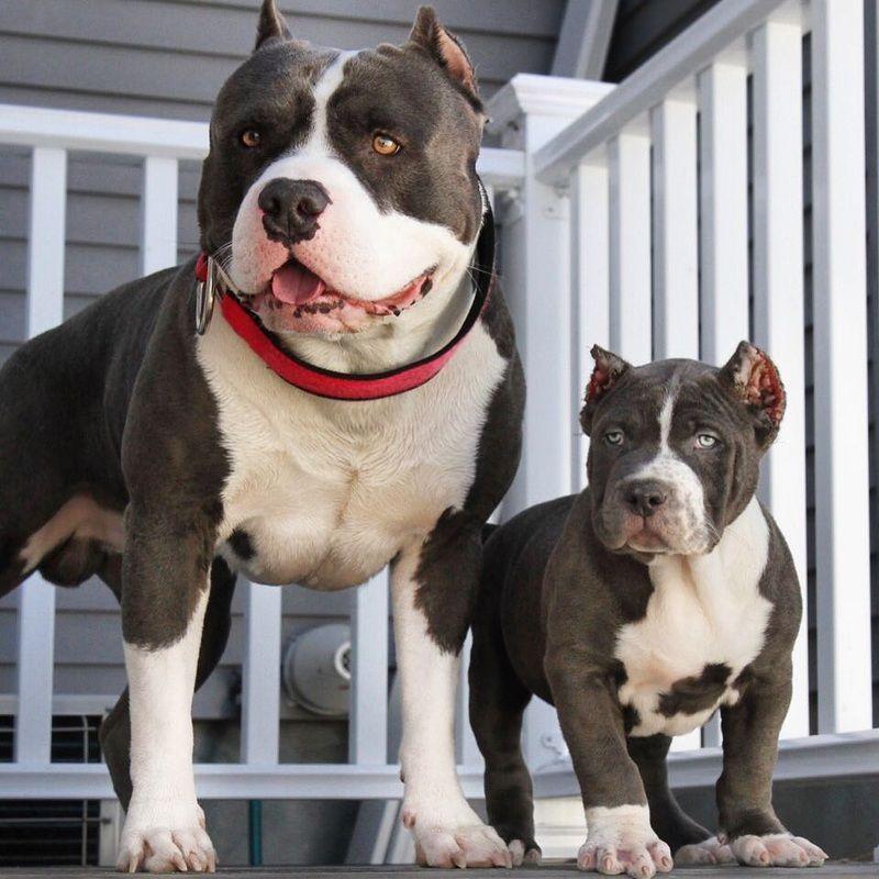 Xxl Designer Pitbulls Home Evcil Hayvanlar Hayvanlar