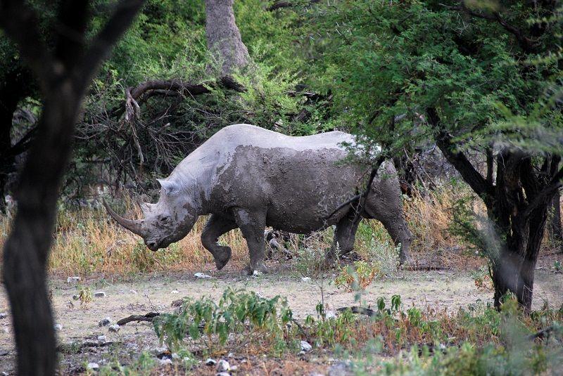 Australien adoptiert Nashörner von Mr. Travel · http://reisefm.de/tourismus/australien-adoptiert-nashoerner/ · Elefanten, Nashörner und Giraffen will Australien nach und nach bei sich ansiedeln, um den gefährdeten Tierarten eine Überlebenschance zu geben.