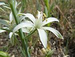Ornithogalum narbonense - Wikipedia, the free encyclopedia