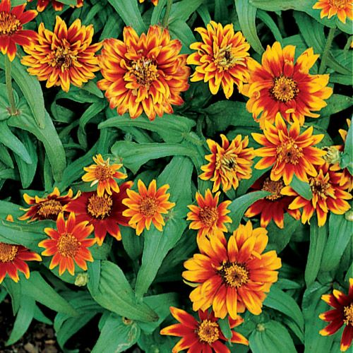 Persian Carpet Mix Mexican Zinnia Seeds Floral Guide