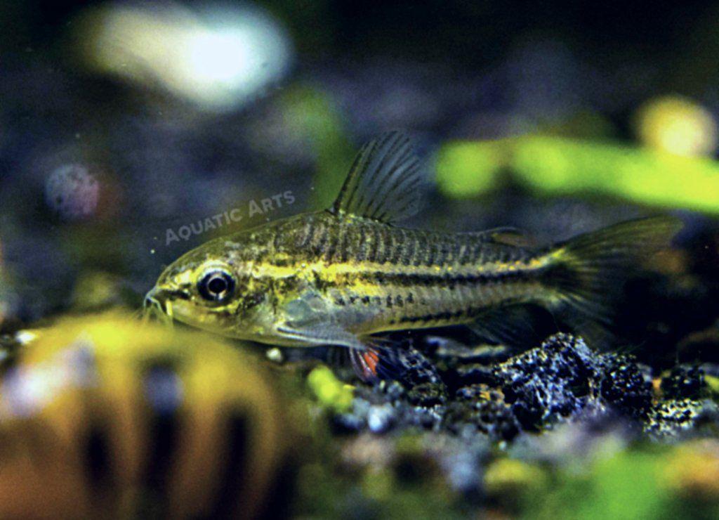 Pygmy Cory Catfish Corydoras Pygmaeus Fresh Water Fish Tank Aquatic Arts Nano Tank