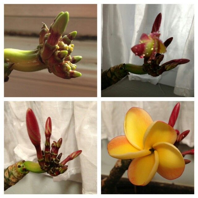 Stages Of Plumeria Flowering Planting Flowers Plumeria Plants