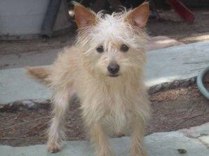 Adopt Jill On Fur Babies Dogs Cairn Terrier Mix Terrier Dogs