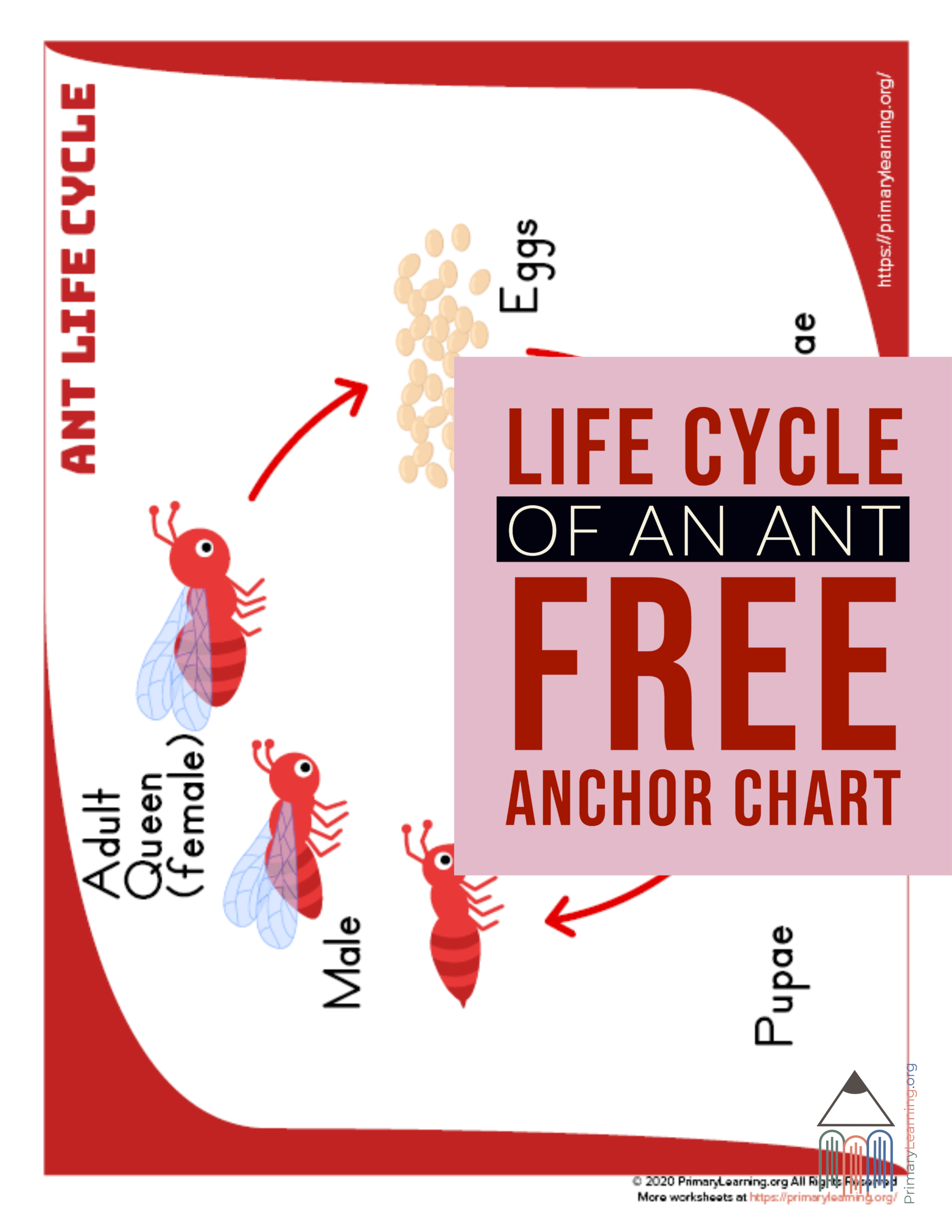 Ant Life Cycle Anchor Chart