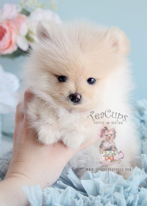 Tiny Teacup Pomeranians And Pomeranian Puppies For Sale By Teacups