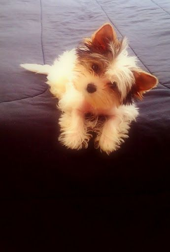 Biewer Yorkie 12 Weeks Old 15 Lbs He Will Be 4 Lbs Full Grown