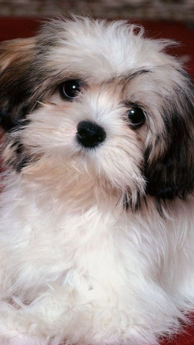 Animals | Havanese puppies, Havanese dogs, Dogs and puppies
