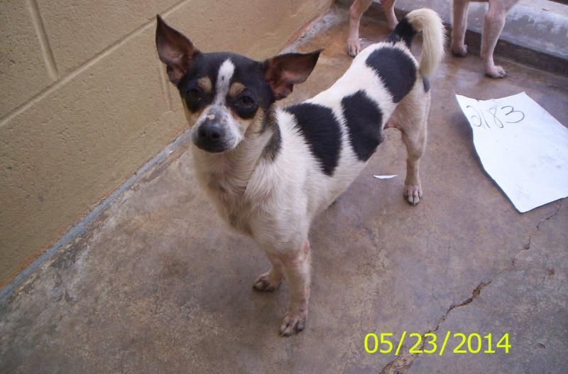 2183 Rat Terrier • Young • Female • Small Brazoria County Sheriffs Office Livestock /Animal Control Angleton, TX