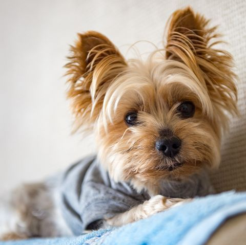 Yorkshire Terriers and Other Tiny Dog Breeds That Would Be