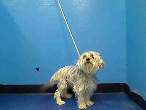 SAFE --- Manhattan Center    MAX - A0952459   *** RETURNED ON 5/7/14 *** ORIGINAL INTAKE PICTURE ***   NEUTERED MALE, GRAY / TAN, MALTESE / YORKSHIRE TERR, 4 yrs  OWNER SUR - ONHOLDHERE, HOLD FOR ID  Reason STRAY   Intake condition NONE Intake Date 05/07/2014, From NY 10032, DueOut Date 05/07/2014 https://www.facebook.com/Urgentdeathrowdogs/photos_stream