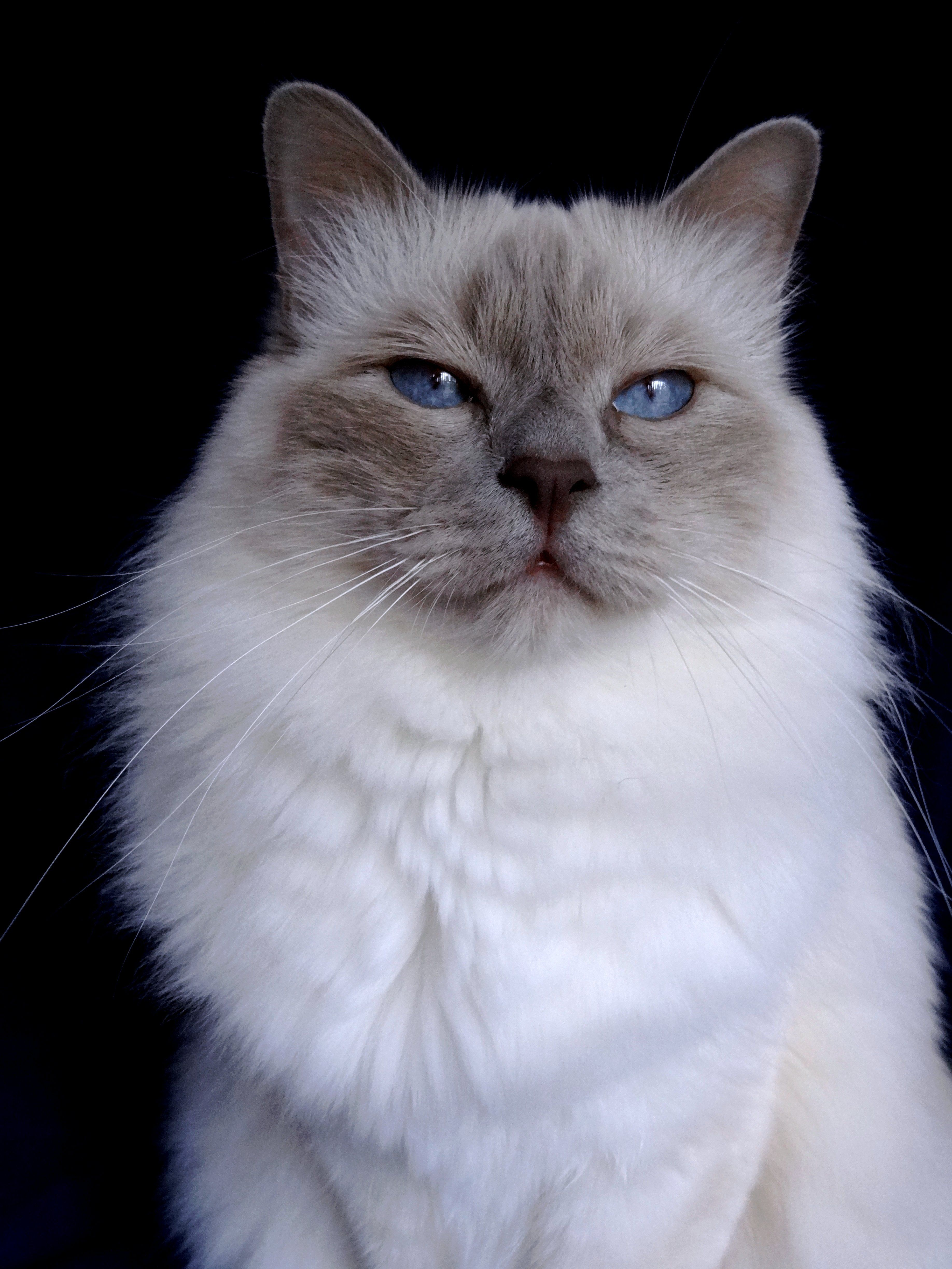 Spartacus the lovely lilac point Birman Animals, Cats