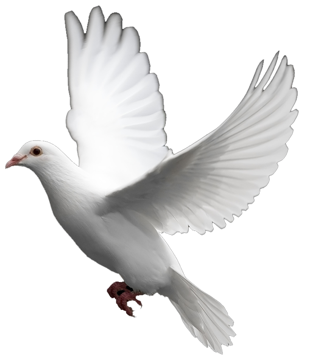 White Dove Images The Symbol Of Peace Pixtif Pinterest Birds