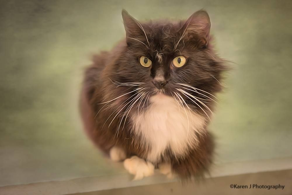 Chickadee Available For Adoption Siberian Cats For Sale Persian Cats For Sale Cat Adoption