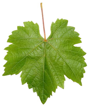 Grape Leaves Google Search Uzum Yaprak