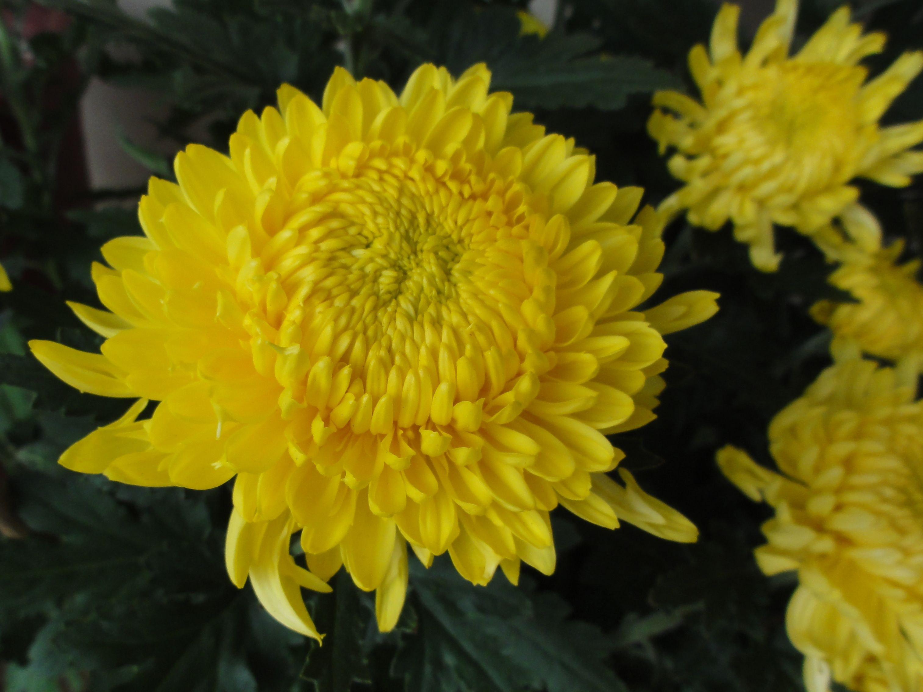 Yellow Is The Colour Of Gold Hence These Huge Mums Symbolize Wealth To Chinese In Singapore Yellow Blooms Beautiful Flowers Chrysanthemum Beautiful