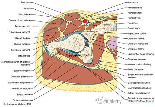 Cross Section Anatomy Transverseaxial Hip Buttocks Pelvic