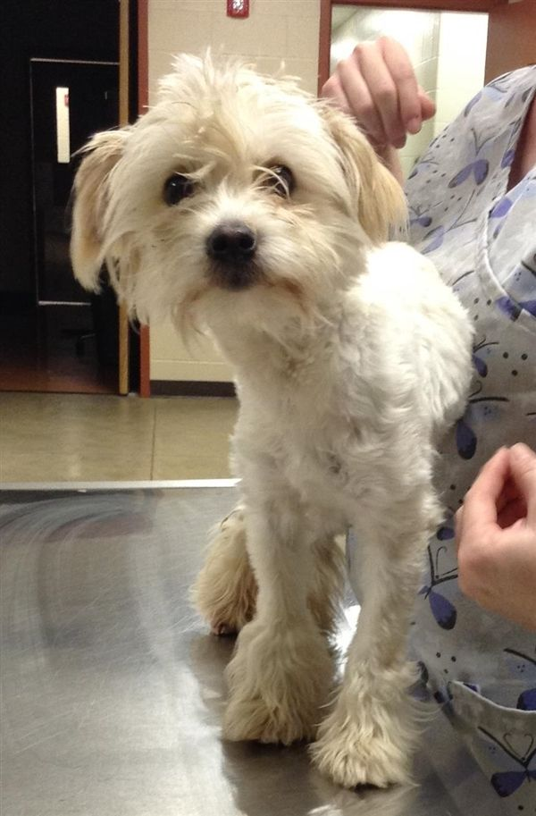 Jacie Is An Adoptable Maltese Searching For A Forever Family Near