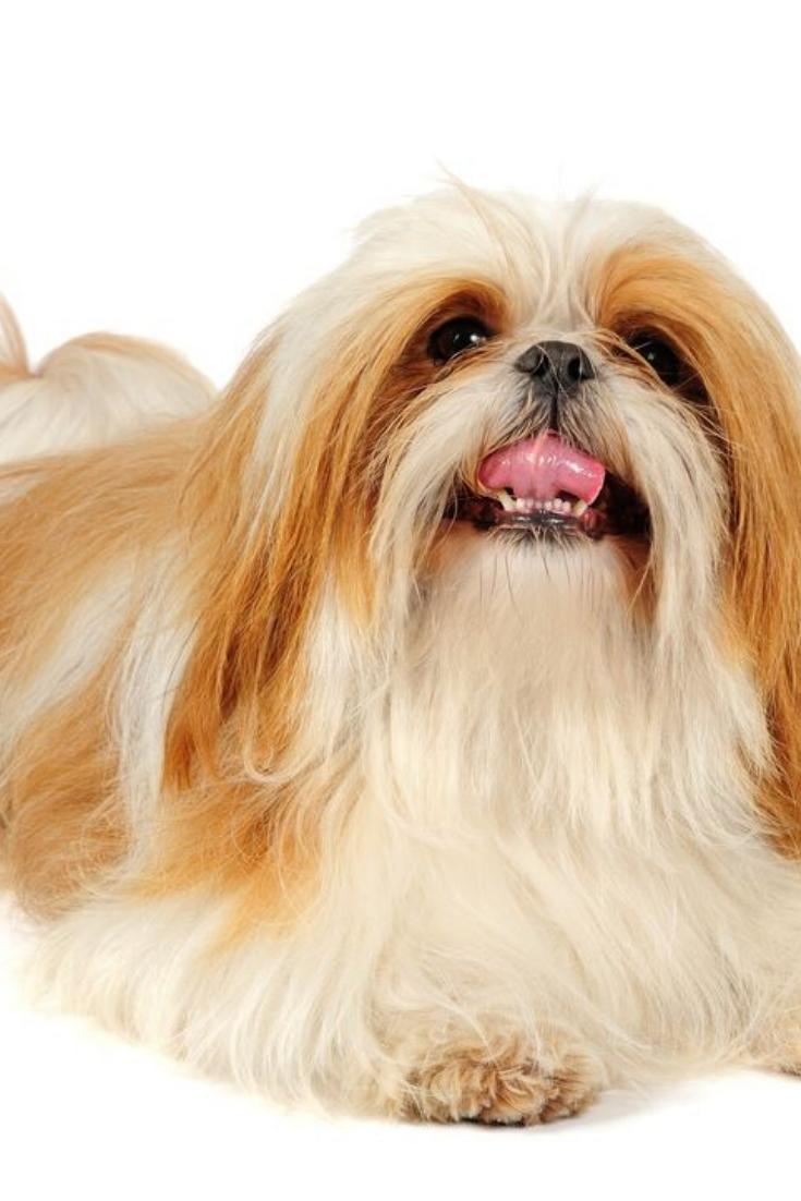 Shih Tzu Dog In Studio On A White Background Shihtzu Shih Tzu Shih Tzu Dog Dogs