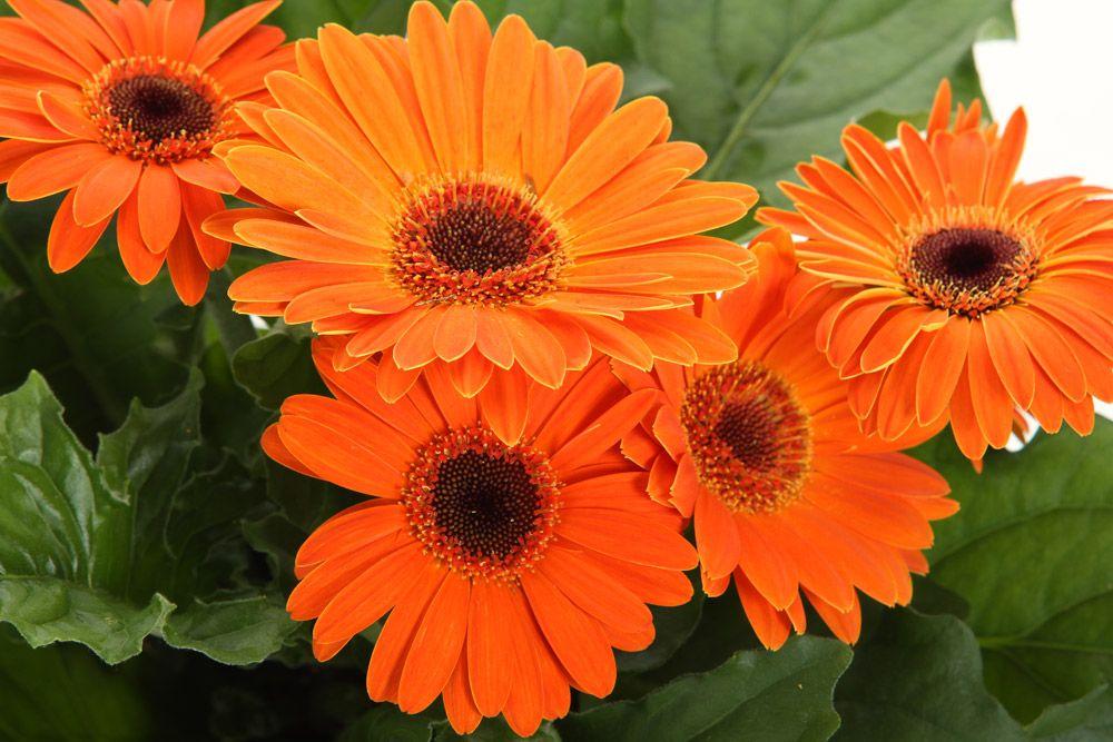 2020 New Plants Gerbera Plants Gerbera Plant