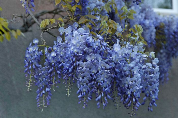 Wisteria Tree Special Occasions For The Wisteria Flowers Flower Pot Design Flower Seeds Flower Pots