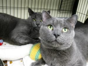 Adopt Boomer And Bombay Rescue On Petfinder Russian Blue Russian Blue Cat Cats And Kittens