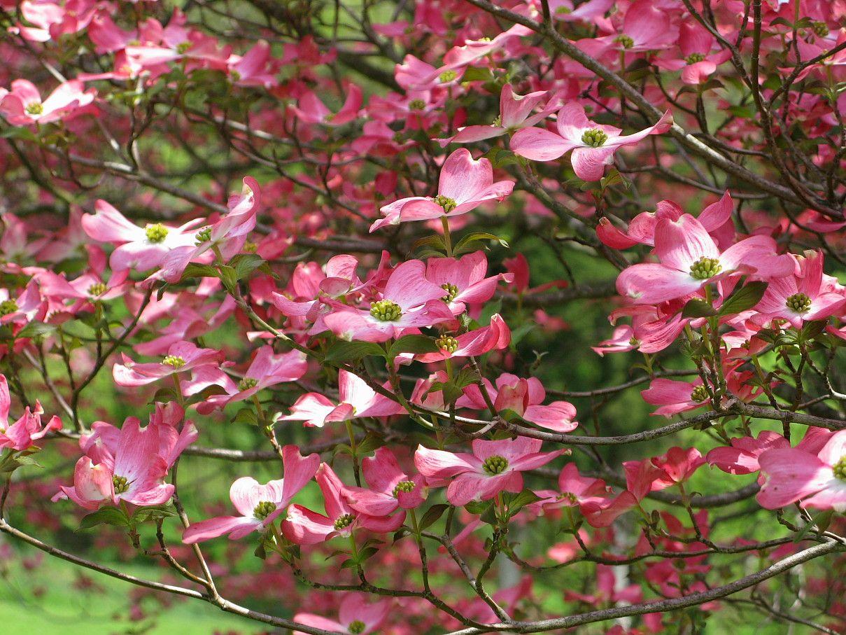 Kentucky Dogwoods Dogwood trees, Flowering trees, Pink