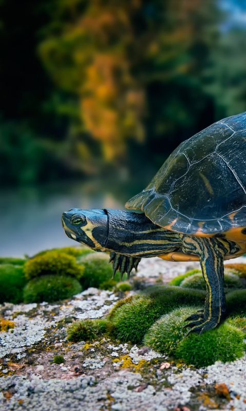 480x800 Wallpaper Turtle Swimming Sea With Images Turtle