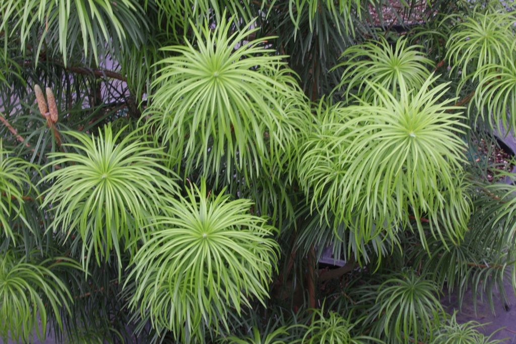 Cathaya Argyrophylla With Images Plants Flora Conifers