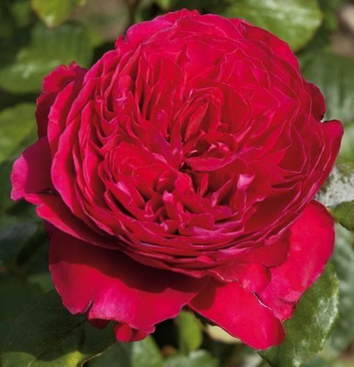 Alain Souchon rosier buisson | Hybrides de thé, Rosier ...