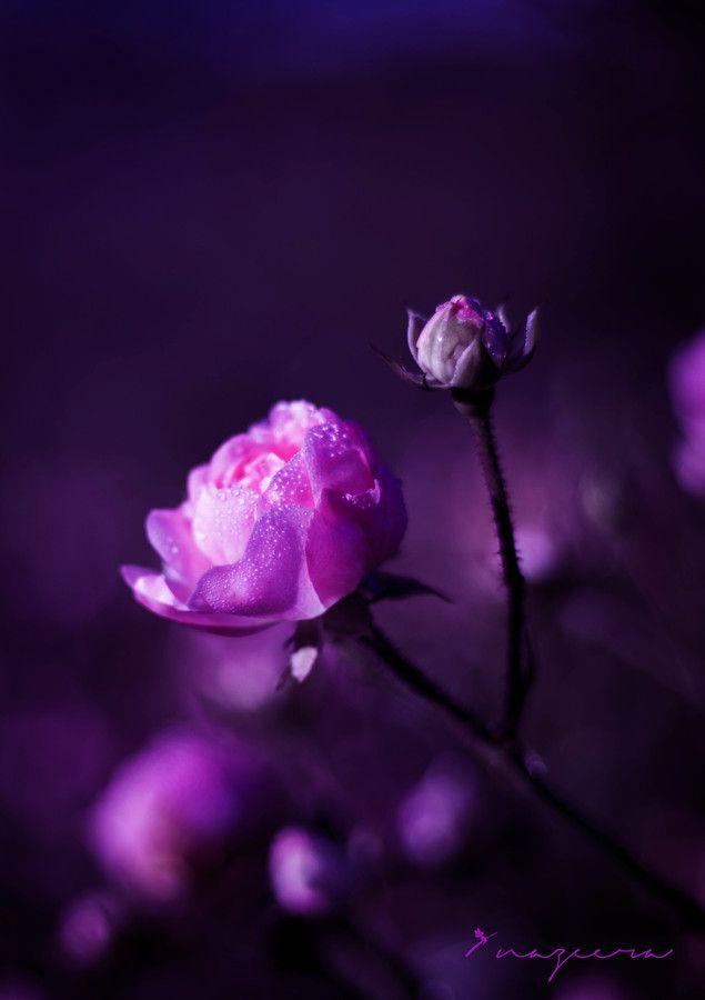 Magical Rose Purple Flowers Purple Love Beautiful Flowers