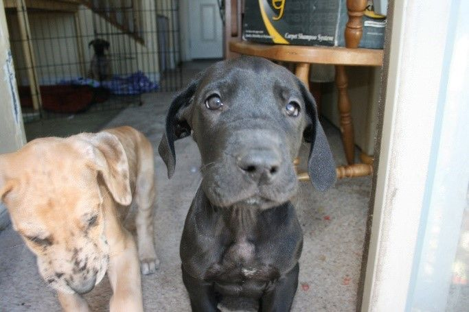Litter Of 9 Great Dane Puppies For Sale In Lehi Ut Adn 55854 On