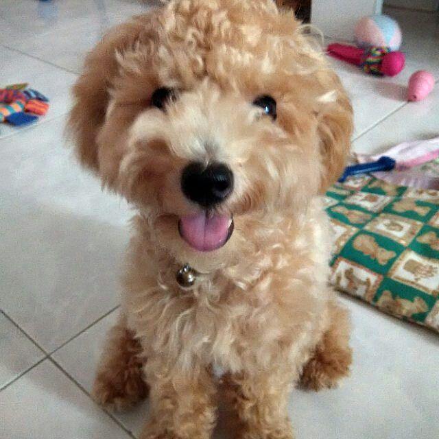 Cute Maltipoo Maltese Poodle Mix Designer Dog With Images Hybrid Dogs Maltese Poodle Mix Designer Dogs